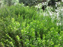 Myrtus communis subsp tarentina