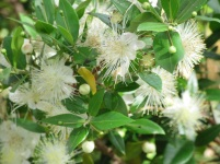 Mytus communis flower