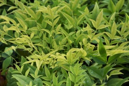 Nandina Magical Lemon and Lime