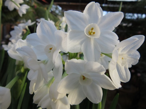 Narcissus Paperwhite