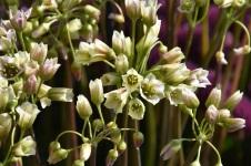 Nectoscordum sicilicum bulgaricum