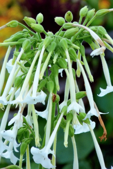 Nicotiana sylvestris (2)