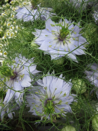 Nigella damascena Love in a Mist