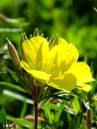 Oenothera Sunny Delights