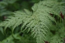 Onychium japonicum