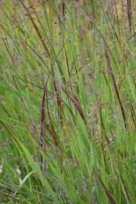 Panicum virgatum Rotstrahlbusch (2)
