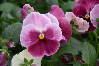Pansy Strawberry 1