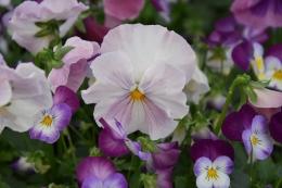 Pansy Viola Lavender Shades