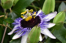 Passiflora Silly Cow