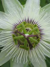 Passiflora White Lightening