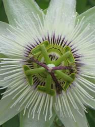 Passiflora White Lightening
