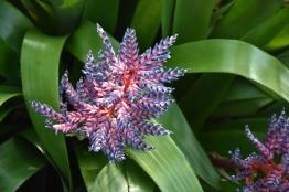 Pavonia bahamensis