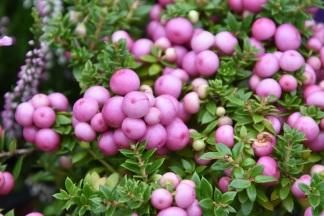 Pernettya mucronata Pink 4