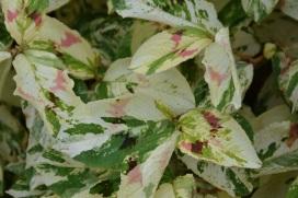 Persicaria virginiana Painter's Palette 4