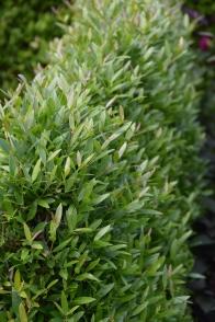Phillyrea angustifolia Rosmarinifolia