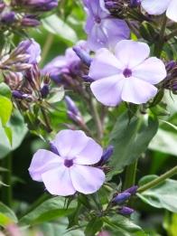 Phlox Lilac Flame