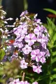 Phlox maculata Natascha