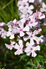 Phlox paniculata Rosa Pastell