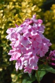 Phlox paniculata Sweet Summer Compact Rose