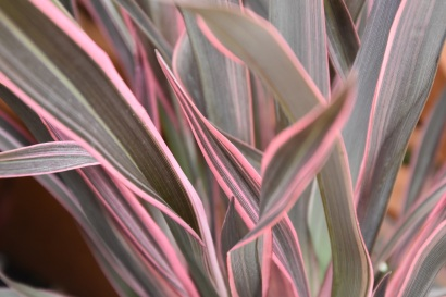 Phormiu Pink Stripe