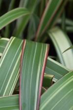 Phormium spp hookeri tricolor