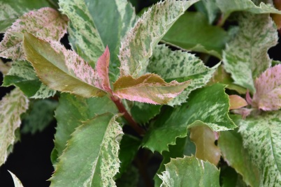Photinia Pink Crispy
