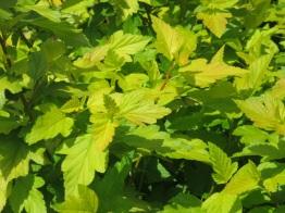Physocarpus opulifolius Angel Gold Minage