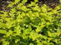 Physocarpus opulifolius Annys Gold