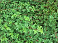 Physocarpus opulifolius Chameleon