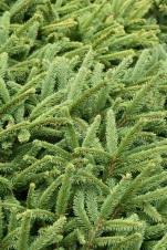 Picea abies Pumila Nigra