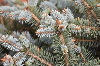 Picea pungens Globosa Nana