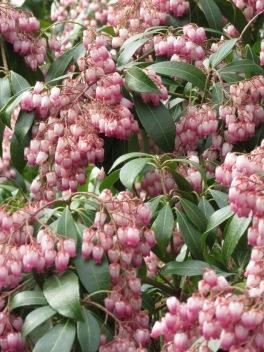 Pieris japonica Katsura 1