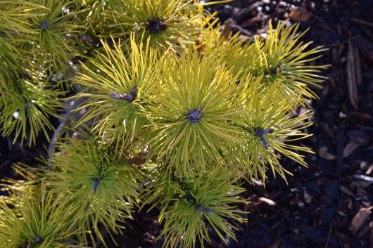 Pinus contorta Chief Jospeh 1
