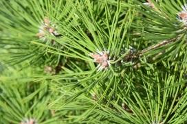 Pinus densiflorus Low Glow