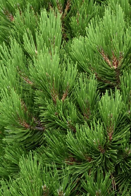 Pinus heldreichii Schmidtii 1