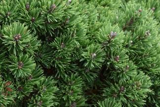 Pinus mugo Tuffet