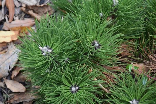 Pinus nigra Keightley Broom