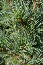 Pinus parviflora Nigishi