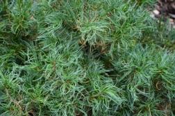 Pinus strobus Tiny Kurls 2