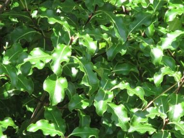Pittosporum tenuifolium Abbotsbury Gold (2)