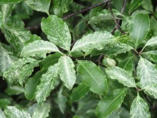 Pittosporum tenuifolium Irene Petterson