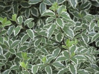 Pittosporum tenuifolium Marjory Channon