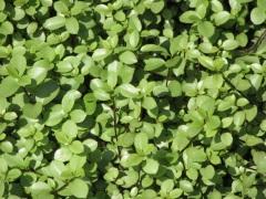 Pittosporum tenuifolium Nanum