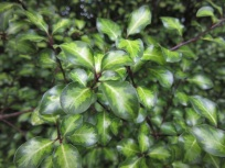 Pittosporum tenuifolium Tandara Gold 2