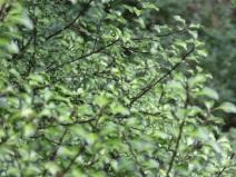 Pittosporum tenuifolium Tandara Gold