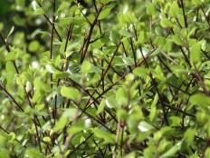Pittosporum tenuilfolium Silver Sheen