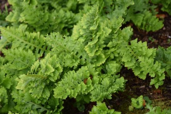 Polypodium cambricum Pulchritudine