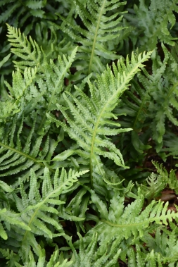 Polypodium cambricum Semilacerum Group Robustum