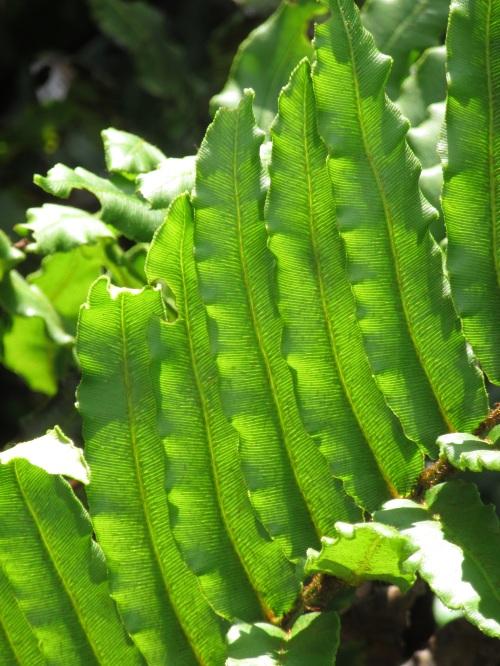 Polypodium glycirrhiza Longicaudatum