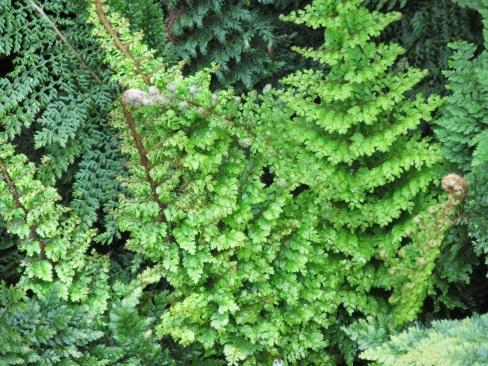 Polystichum setiferum Plumosomultilobum (2)